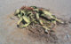 Welwitschia.