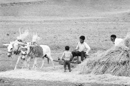 Threshing wheat outside Arak, 30 years ago.